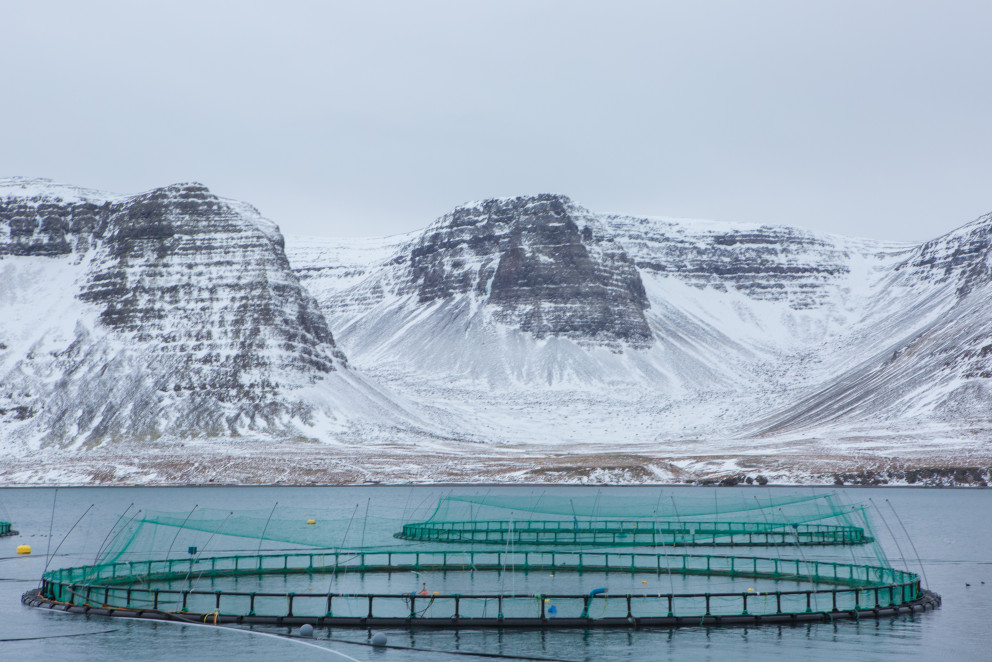 Iceland Salmon Producer Arnarlax Suffers Net Pen Failure, Escapement