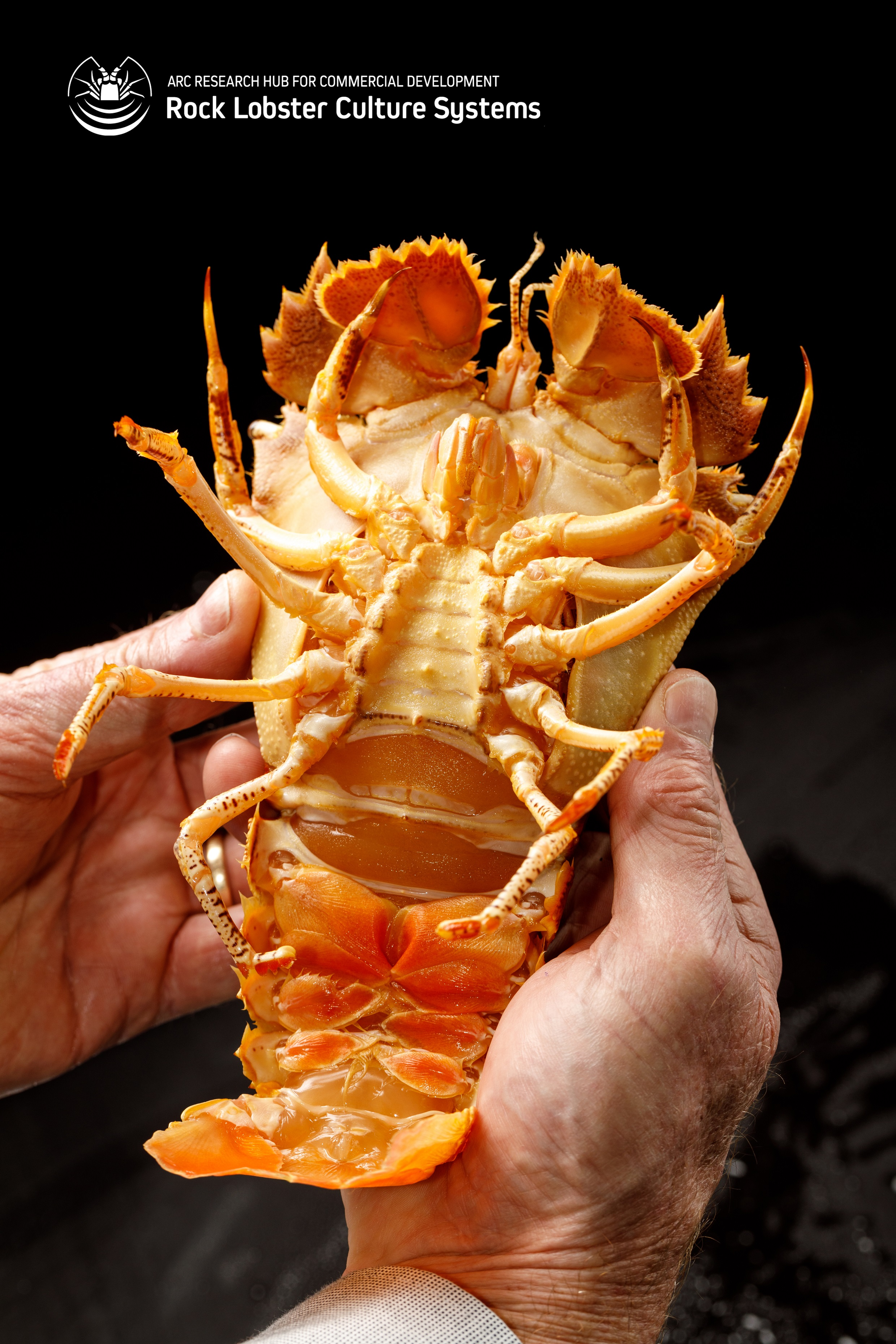 Breed Moreton Bay Bugs Commercially ...