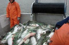Bristol Bay, Area M Only Bright Spots for AK Salmon Permits