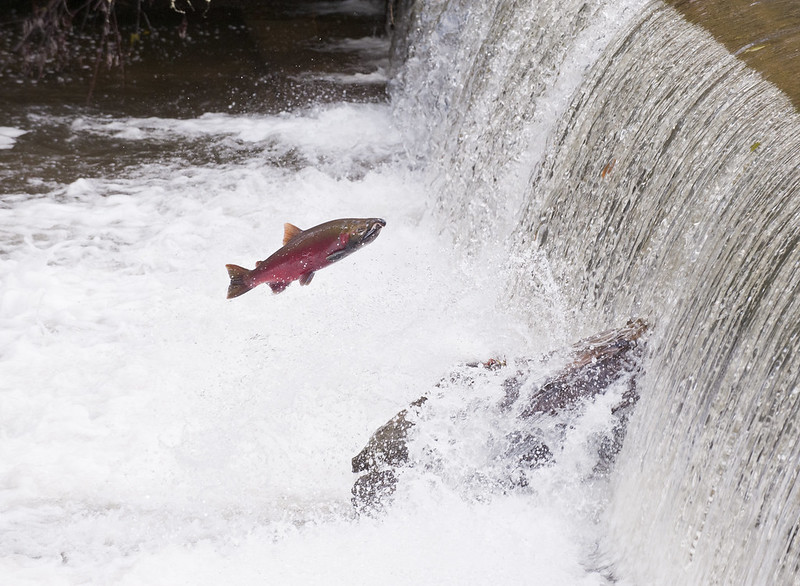 Genetic Analysis Shows Wild, Hatchery Coho Differences in Mate Choices