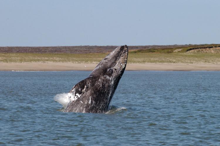 Gray Whales Along West Coast Decline; Drop Doesnt Imperil Population