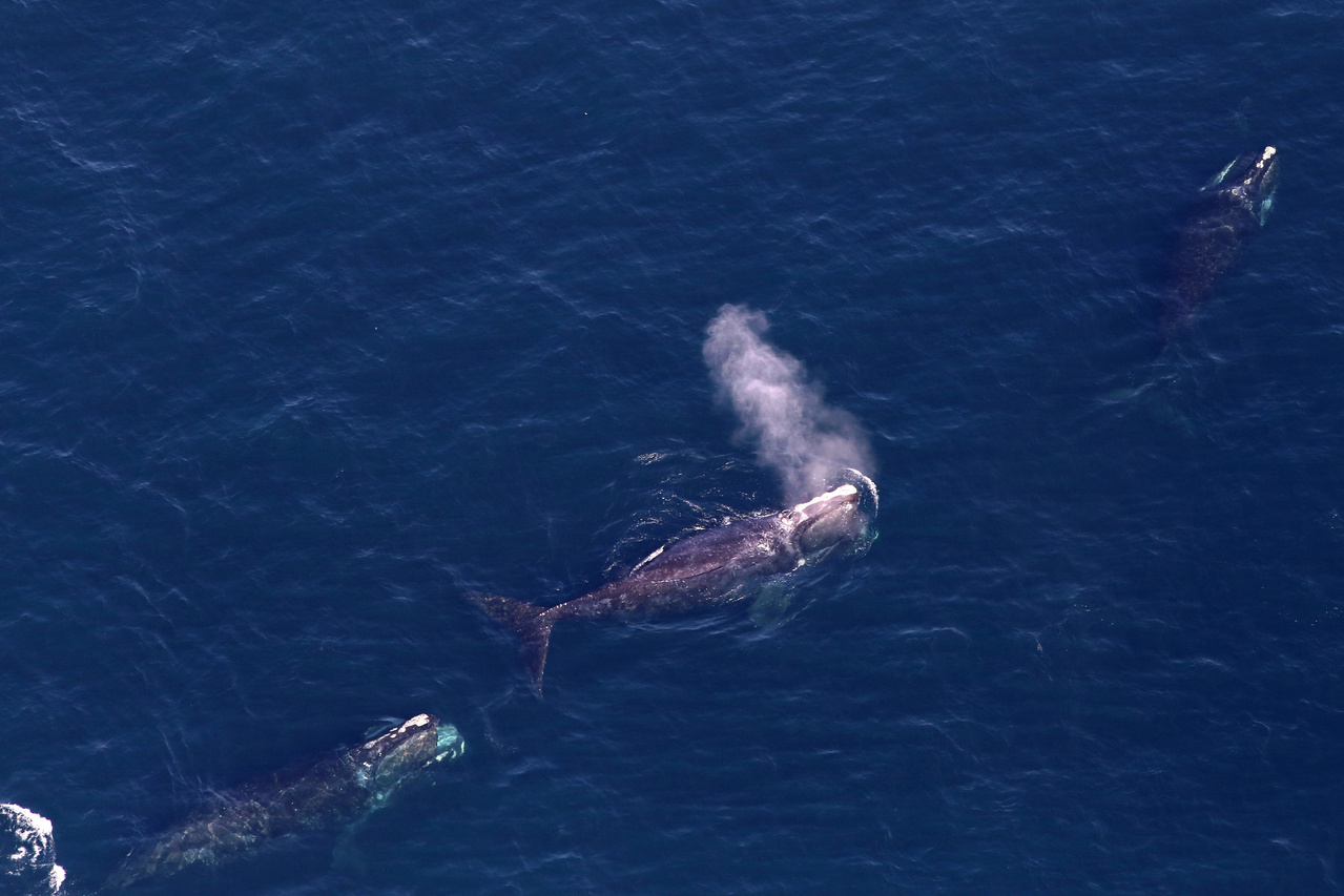Transport Canada Introduces New Measures to Protect North Atlantic Right Whales After 6 Deaths