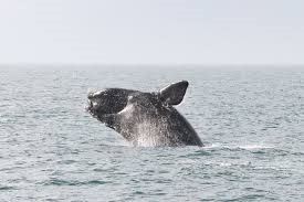 SAVE Right Whales Act Passes Out of Senate Committee