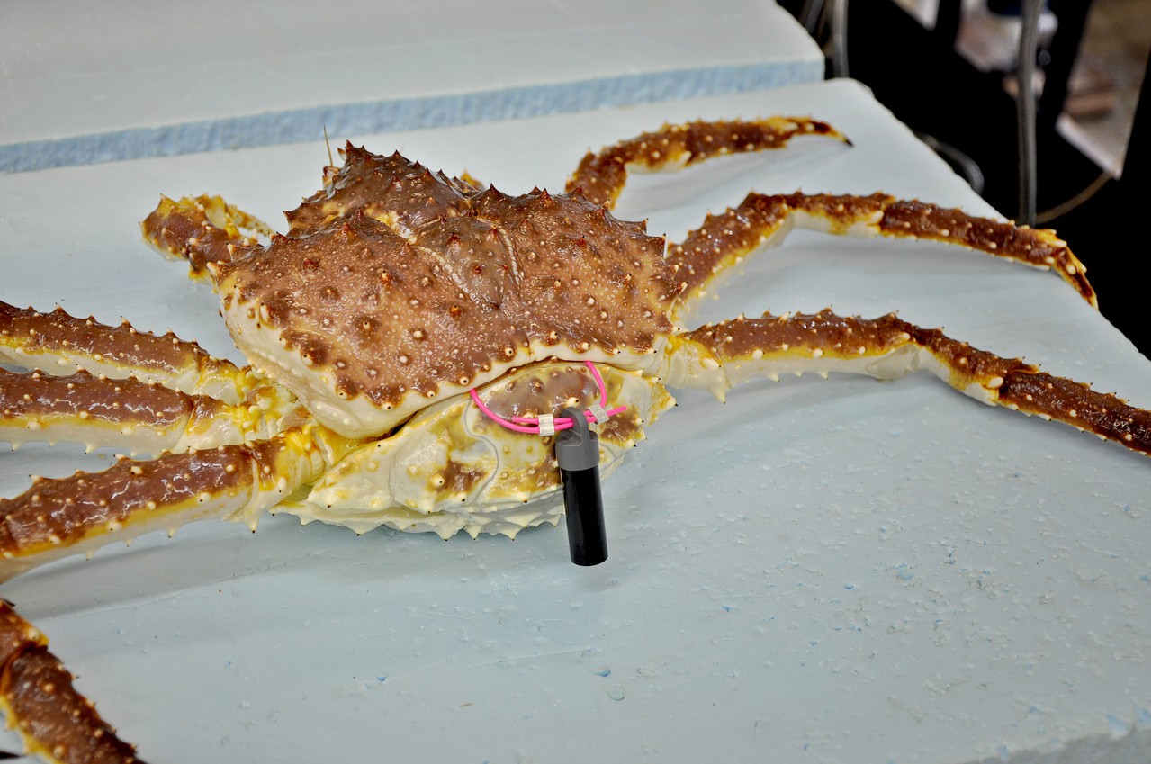 NOAA Partners With Bering Sea Fisheries Research Foundation to Track Red King Crabs in Bristol Bay