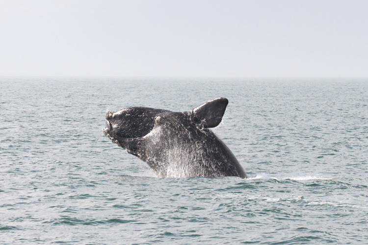 Proposals to Save North Atlantic Right Whales Would Have Drastic Effect on Lobstering