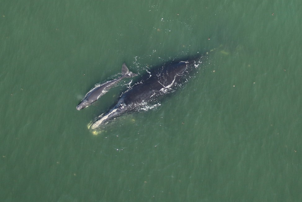 Right Whale Calves Bring Hope for the Future [PHOTOS]