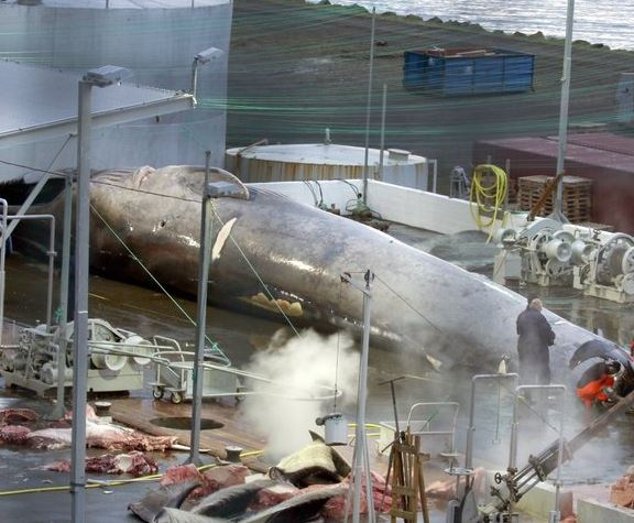 Icelandic Whaler Accused of Killing Protected Blue Whale