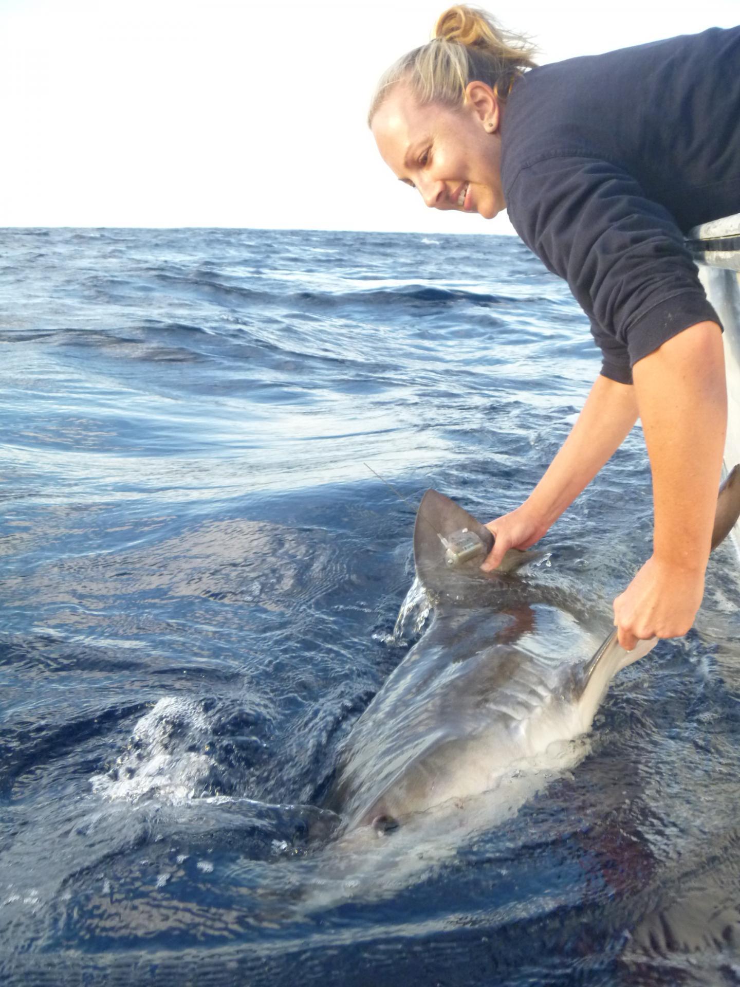 University Study Shows Longline Fishing Hampers Shark Migration