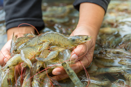 Although China Shuts Door on Some White Shrimp Imports, Demand Remains Strong