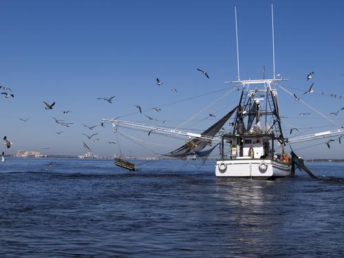 July Domestic Shrimp Landings Lowest Since 2010 Deepwater Horizon Oil Spill