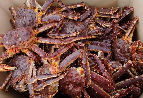 The Russian Red King Crab Season Began September 1 in Both the Barents Sea and Russian Far East