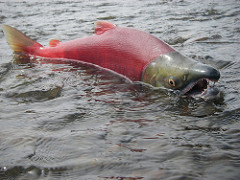 Size of Bristol Bay Run Will Be in Upper Range of Forecast, Likely 50-55 Million Sockeye