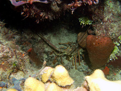 Bahamian Spiny Lobster Fishery Awarded MSC Certification After 19 Month Assessment