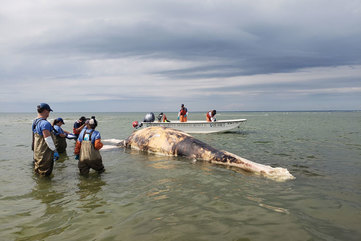 Entanglement Caused Death of North Atlantic Right Whale Off Martha's Vineyard